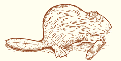 Drawing of beaver